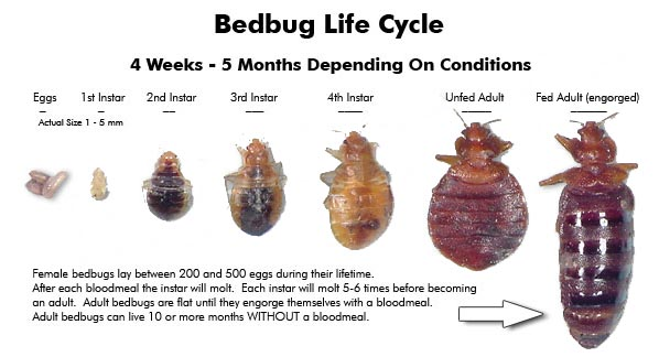 Bed bugs | integrated pest management.
